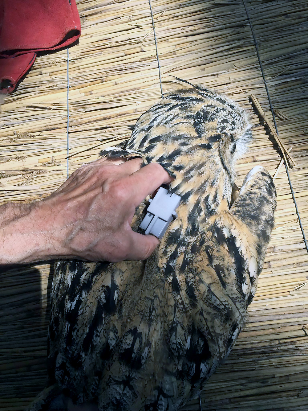 Fitting eagle owl with GPS transmitter