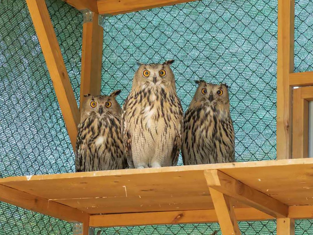 Three juvenile eagle owl in the aviary