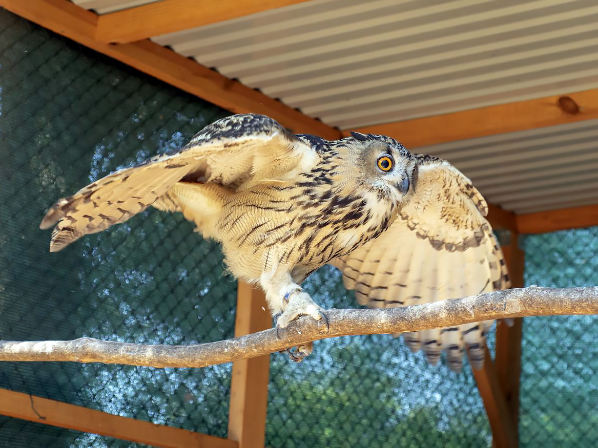 Eagle owl, Bubo bubo, a bird raised in captivity, newly released into the wild