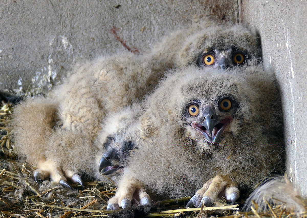Eagle owl chicks at Odessa Zoo