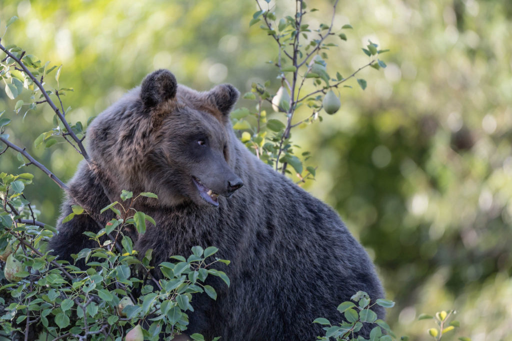 Awesome portrait of Marsican brown bear (Ursus arctos marsicanus)