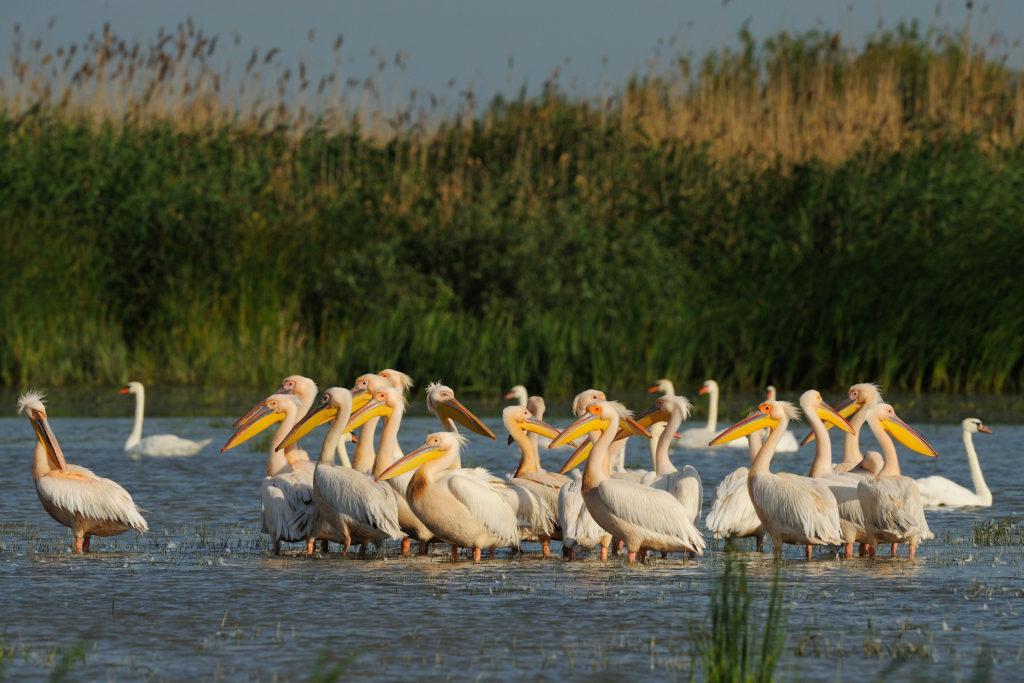 White pelican, Pelecanus onocrotalus, Danube delta rewilding area, Romania
