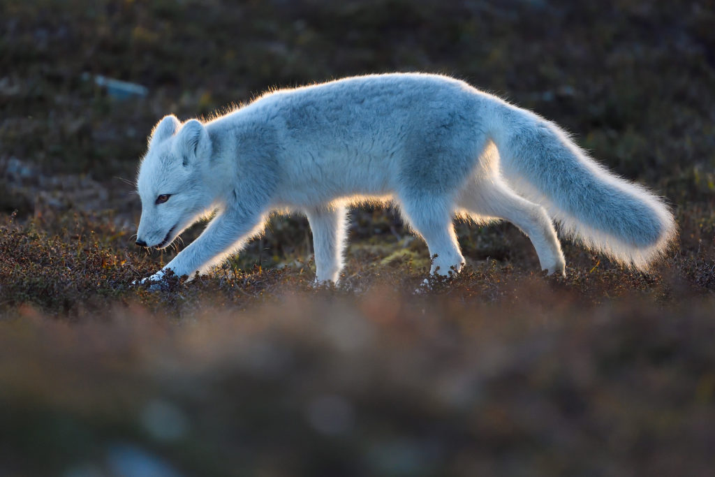 Young Arctic fox, Vulpes/Alopex lagopus, sniff the ground in Dovrefjell National Park, Norway