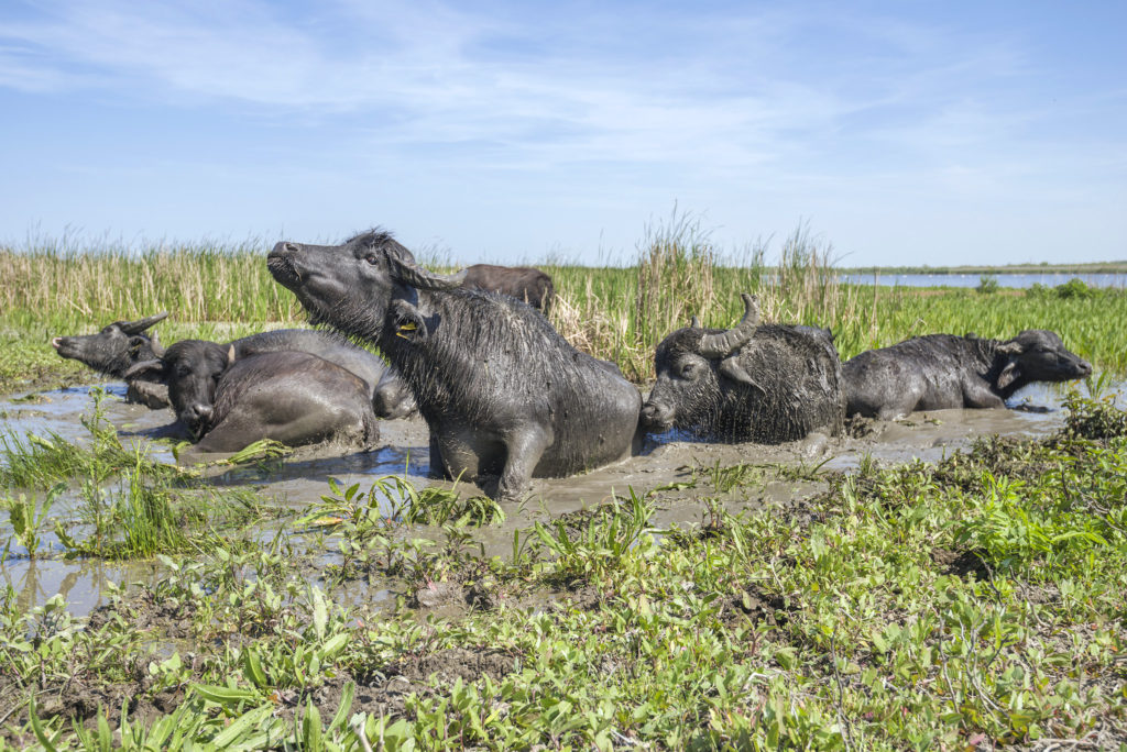 """The herd of 7 water buffaloes was released on Ermakov Island in the Ukrainian Danube delta. The animals were brought from Transcarpathia by """"Rewilding Ukraine"""" to help preserve the island's mosaic landscapes and rich biodiversity."""