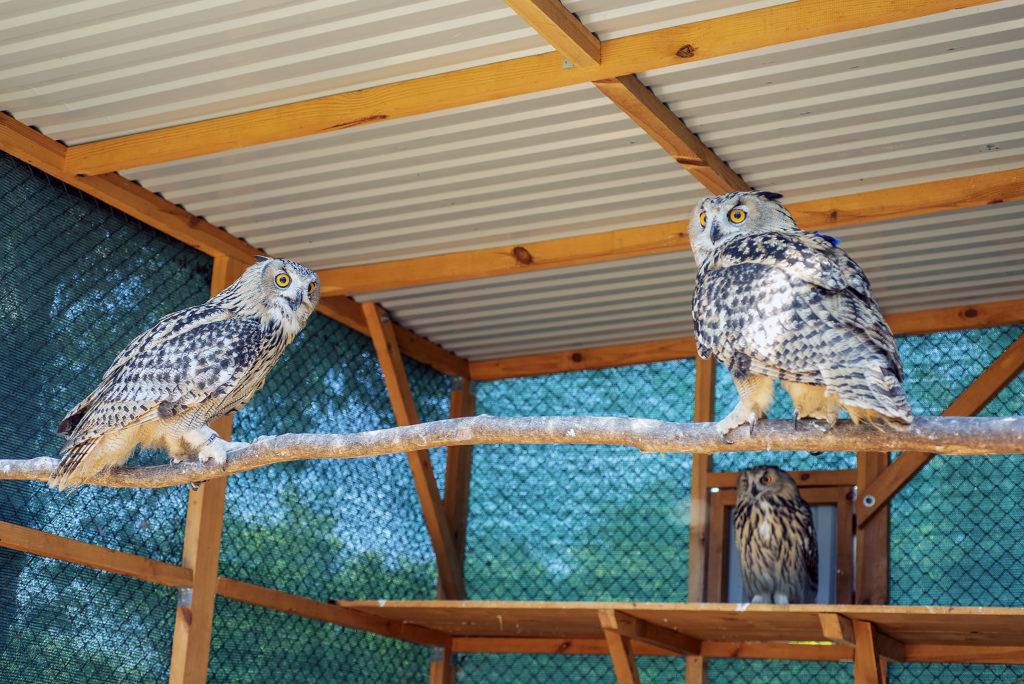 DANUBE DELTA, VYLKOVE, ODESSA OBLAST, UKRAINE - JULE 11, 2020: Rewilding Europe released three Eurasian eagle-owl (Bubo bubo) in Danube delta to Ukraine