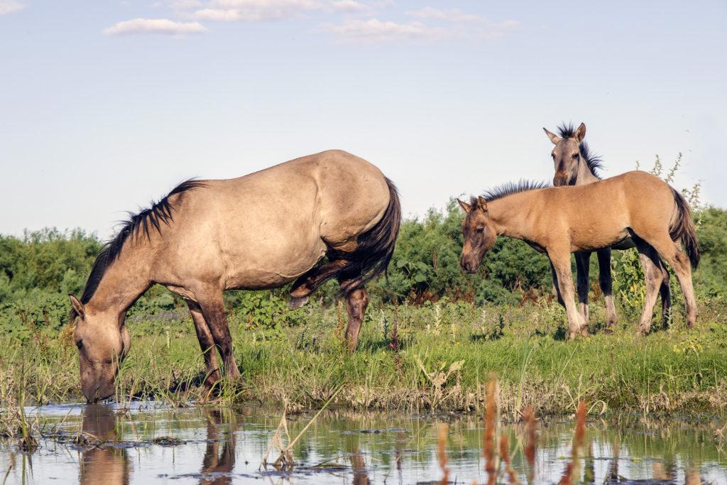 ERMAKOV ISLAND, DANUBE DELTA, VYLKOVE, ODESSA OBLAST, UKRAINE - JULY 14, 2020: One year after Rewilding Europe released a herd of Wild Konik or Polish primitive horse in Danube delta of Ukraine