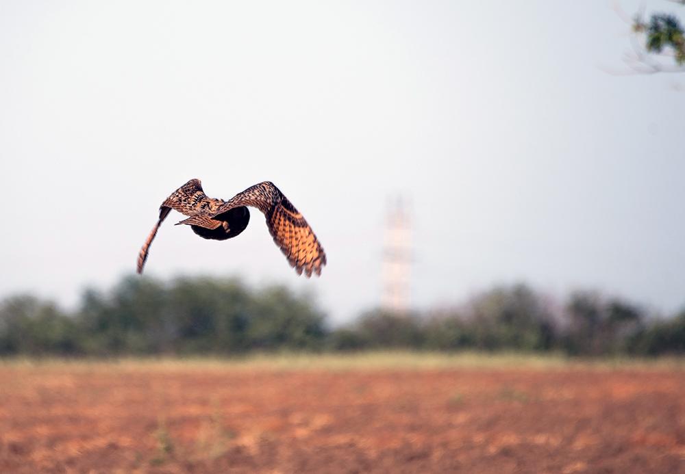 Eagle owl photographed near Kiliya