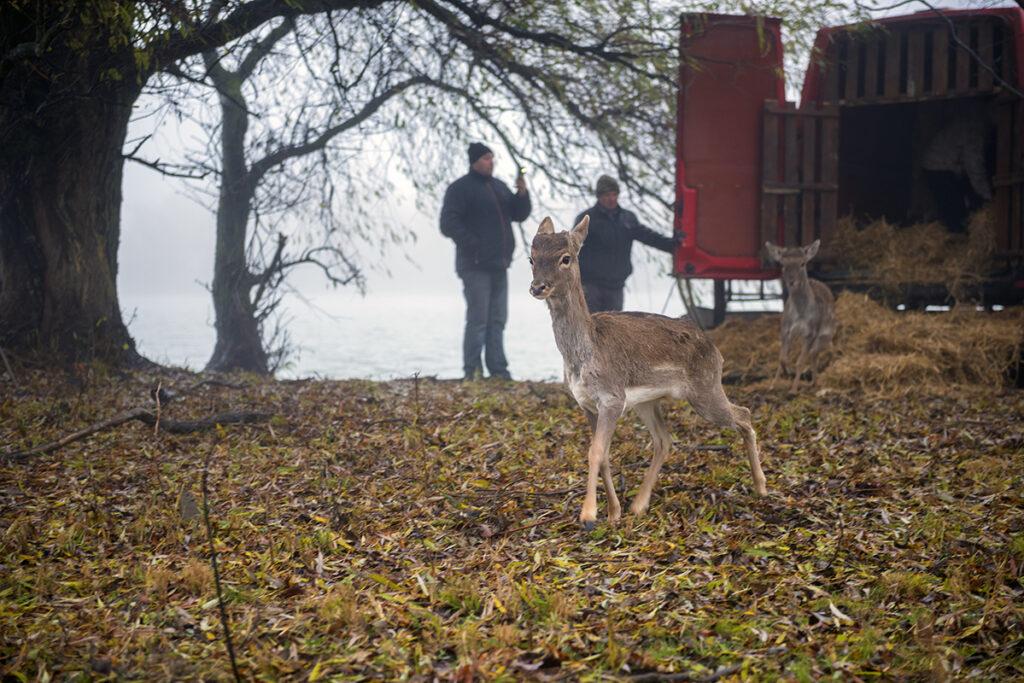 ERMAKOV ISLAND, DANUBE DELTA, VYLKOVE, ODESSA OBLAST, UKRAINE - DECEMBER 02, 2020: Rewilding Europe released a herd of Fallow deer (Dama dama) in Danube delta of Ukraine
