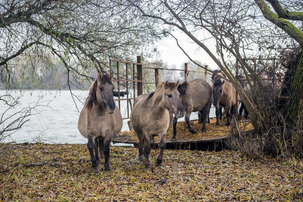 ERMAKOV ISLAND, DANUBE DELTA, VYLKOVE, ODESSA OBLAST, UKRAINE - DECEMBER 02, 2020: Rewilding Europe released a herd of Wild Konik or Polish primitive horse in Danube delta of Ukraine