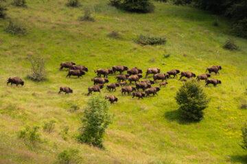 Herd of bison running